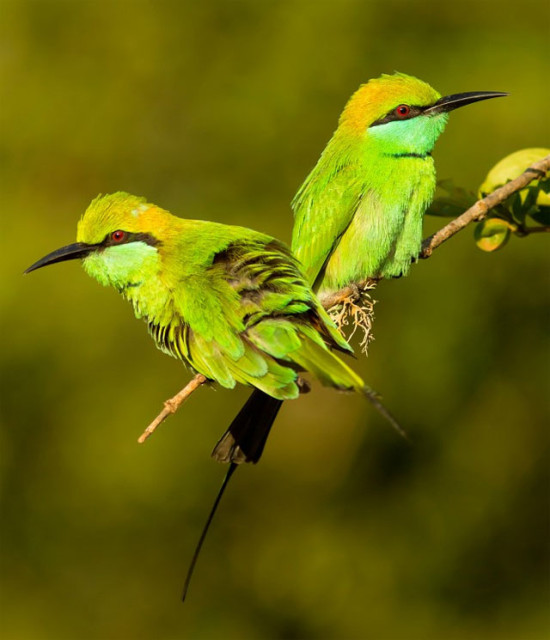 Щурка малая зеленая