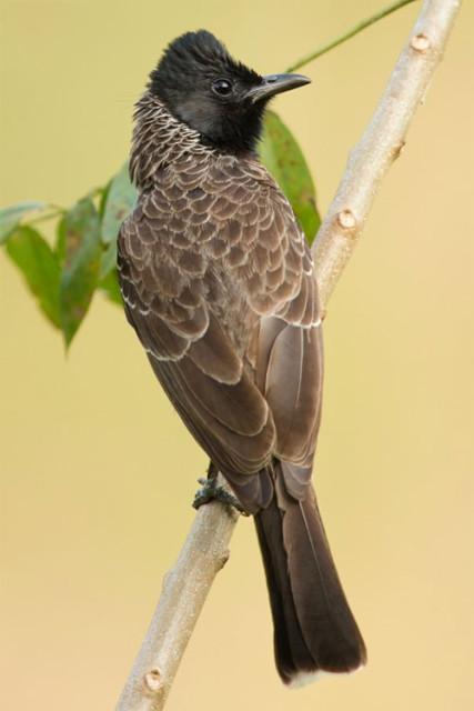 Pycnonotus cafer