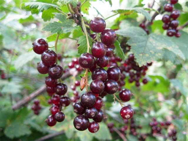 Смородина красная Зеро Ribes rubrum