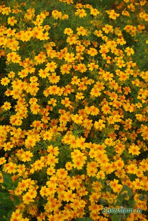 Бархатцы тонколистые (Tagetes tenuifollia L.), С-Петербург, октябрь