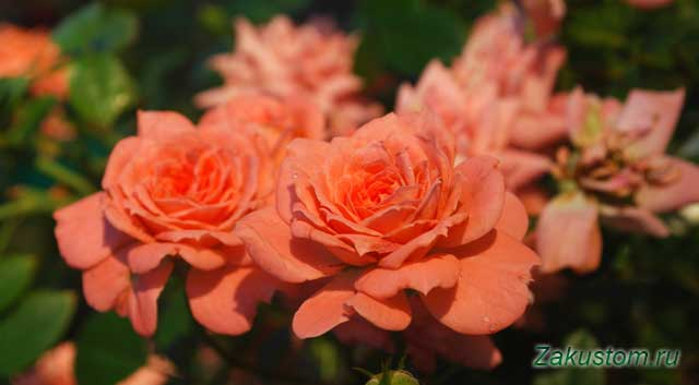 Август, цветущая роза