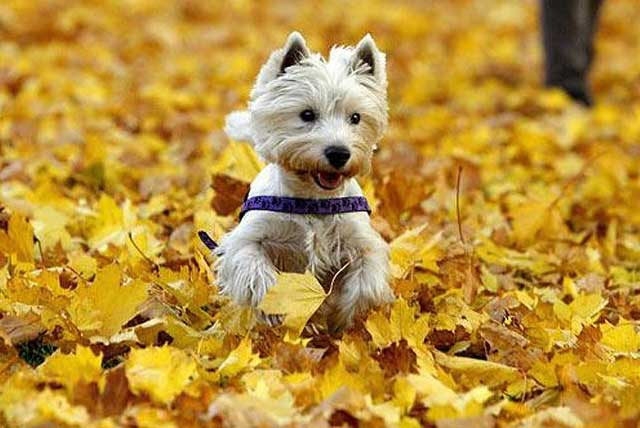 собака в осенних листьях
