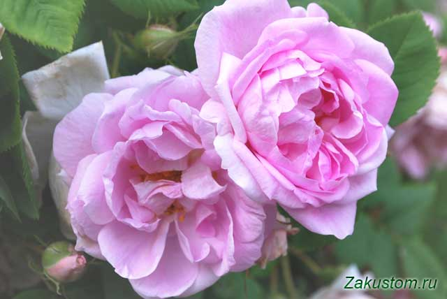 Цветущие розы в июне