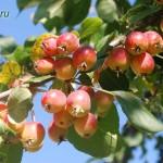 Яблоня в сентыбре