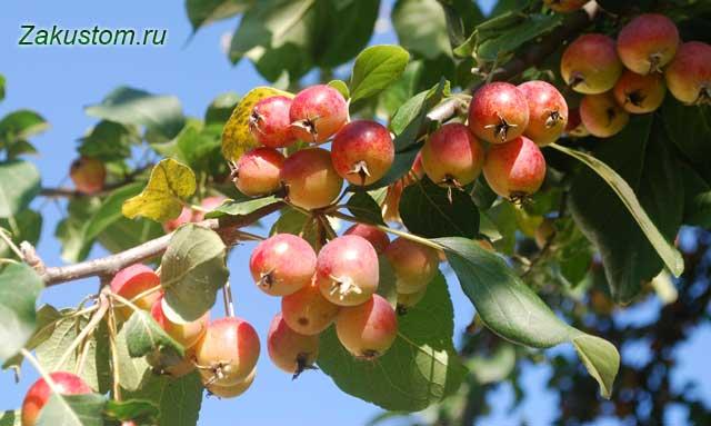 Яблоня в сентябре