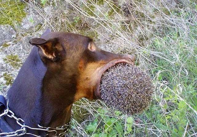 Собака поймала ежика