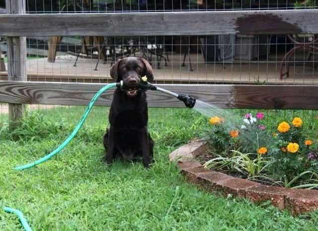 Смешная собака поливает грядки