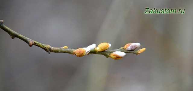 Ветка с почками, март в саду