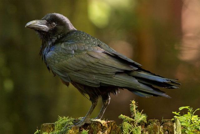Обыкновенный ворон Common Raven