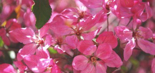 Цветущая декоративная яблоня, май