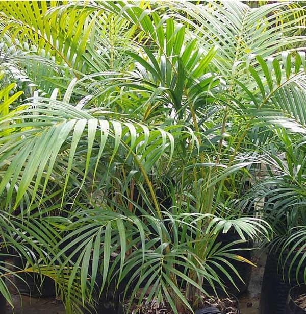 Арековая пальма или арека