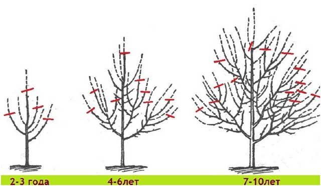Схема подрезки молодых яблонь