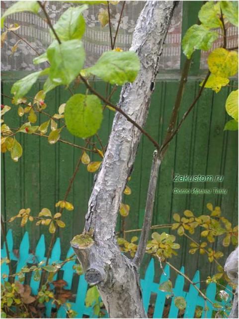 Раздвоение ствола яблони