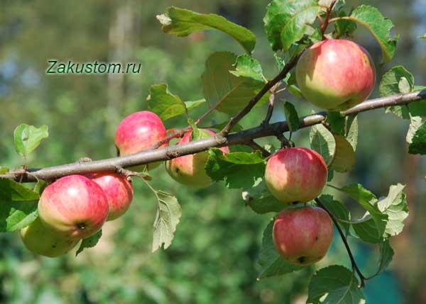 Яблоки на яблоне в саду