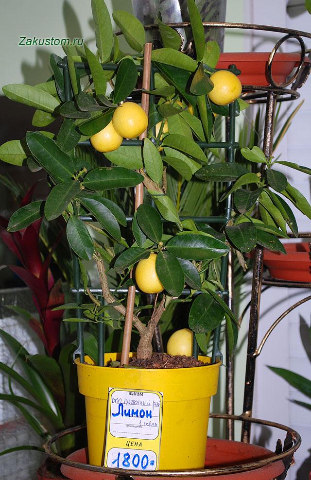 Комнатный лимон в магазине, февраль 2015