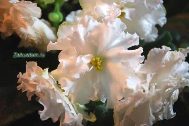 Сорт сенполии ЕК - Белая королева