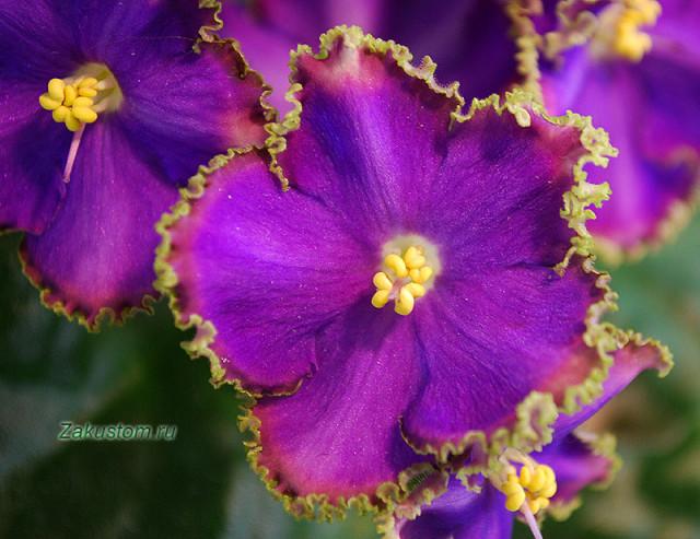 Цветок фиалки сорта РС - Изумрудный берег