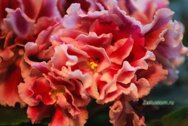 Сорт сенполии Морозная вишня