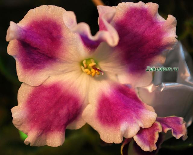 Цветок сенполии сорта Сияние звезд