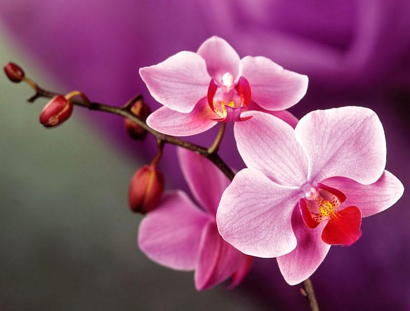 Орхидея - выращивание и уход