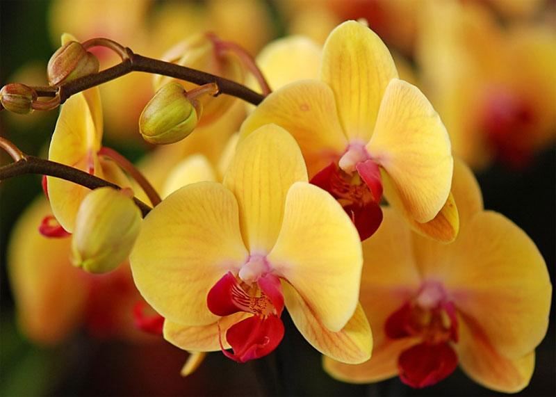 Орхидеи - выращивание уход размножение в домашних условиях