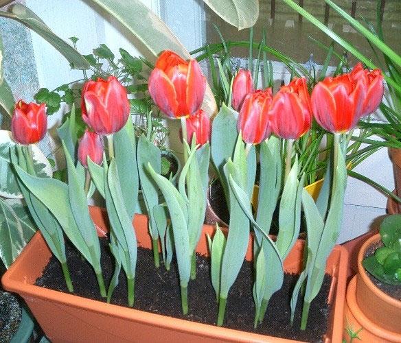 Выгонка тюльпанов в домашних условиях дачный участок.