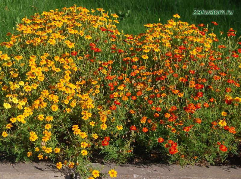Бархатцы - растения против тли