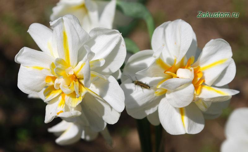 Нарциссы - выращивание и уход