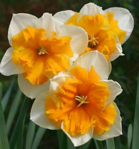 Нарцисс «Оранжери» (Orangery)