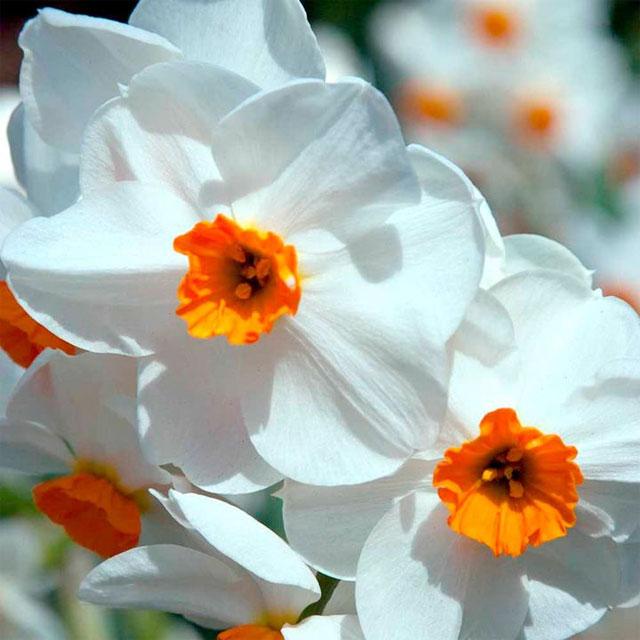 нарцисс «Гераниум» (Geranium)