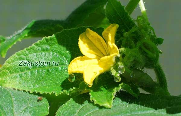Огурец цветет