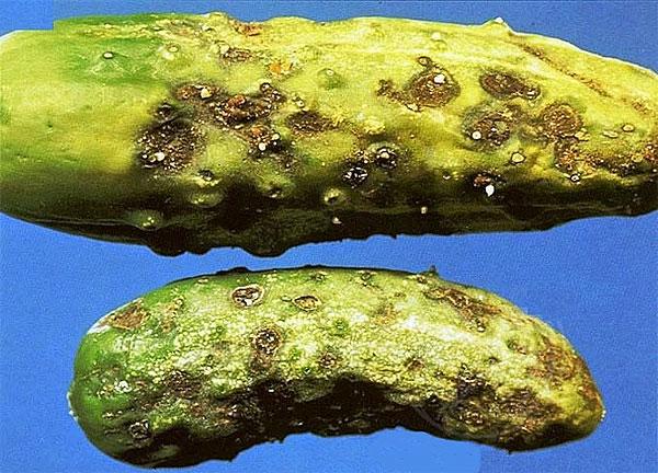Оливковая пятнистость или кладоспориоз огурцов