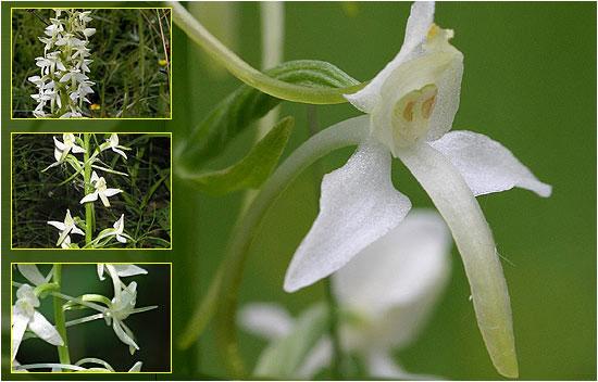 Орхидея Любка