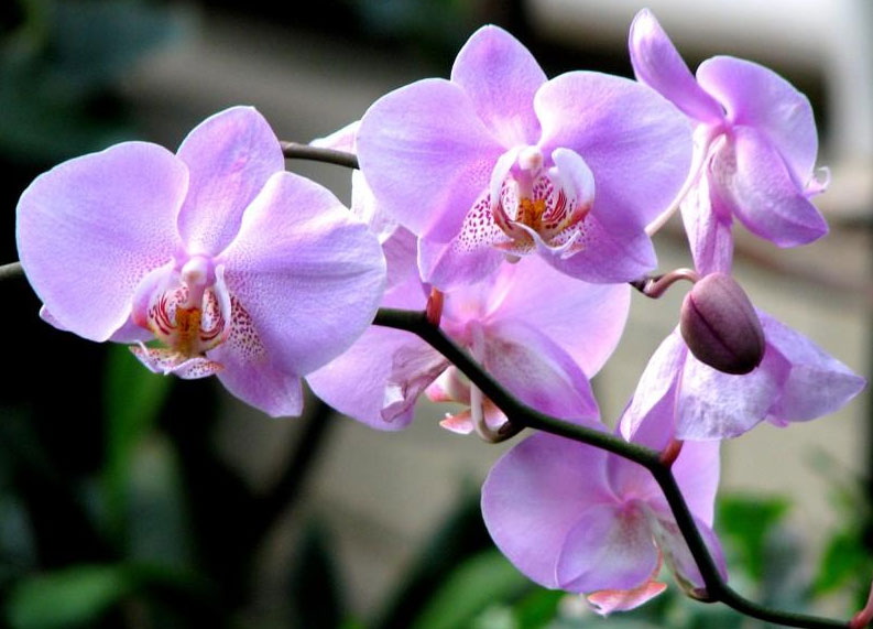 Орхидеи - история мифы и легенды