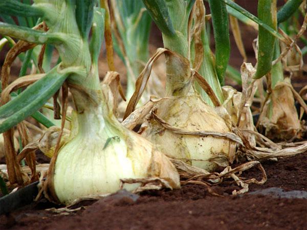 Репчатый лук для защиты растений