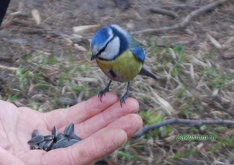 Синичка на руке