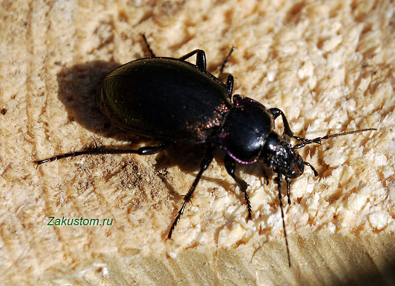 Жужелица - насекомое энтомофаг