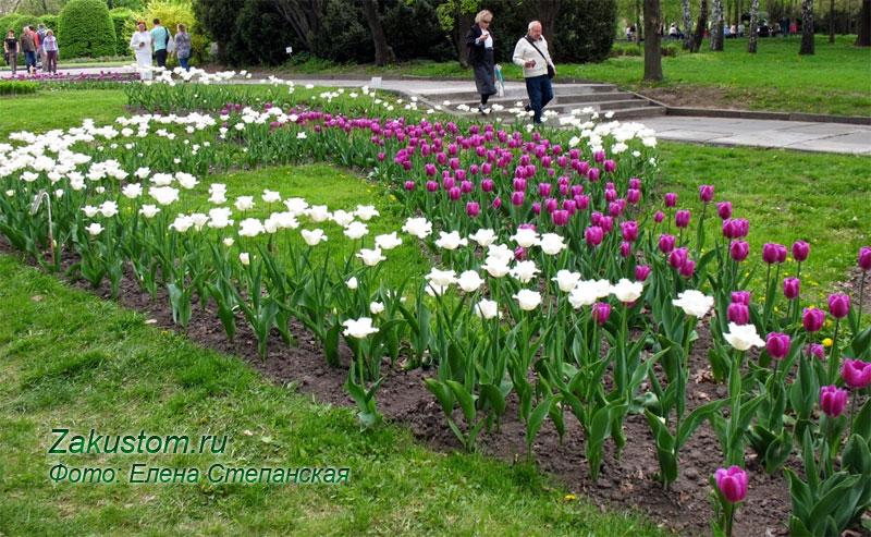 Многолетняя клумба из луковичных - тюльпаны