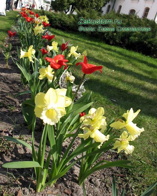 Многолетняя клумба из луковичных - тюльпаны и нарциссы