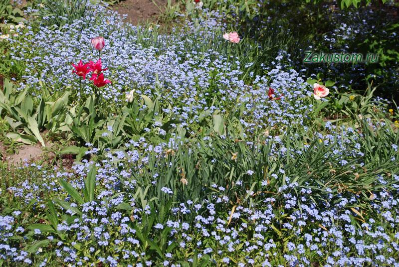 Многолетняя клумба из луковичных - тюльпаны и незабудки