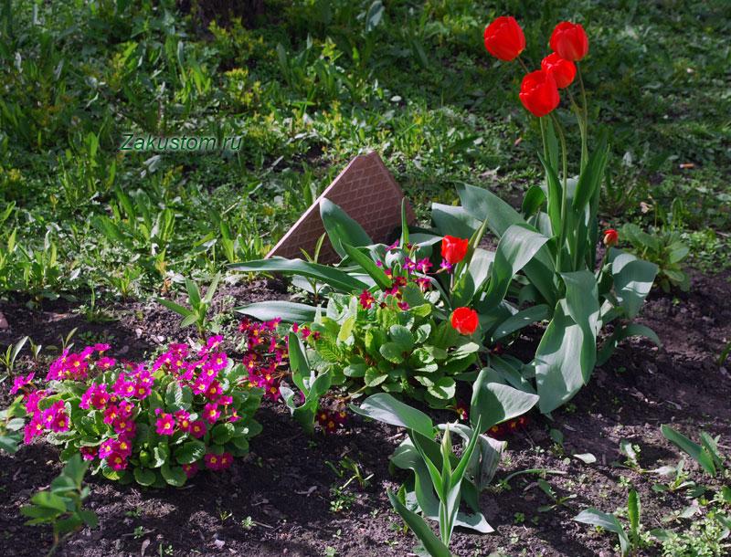 Многолетняя клумба из тюльпанов и примул