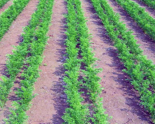 Морковь - посадка выращивание и уход