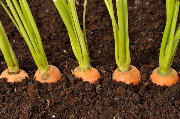 Морковь - выращивание и уход