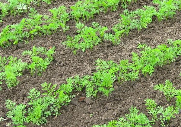 продуктов когда сажают морковку в открытый грунт обязательства бухучете