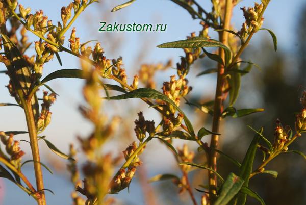 Магические травы - чернобыльник или полынь