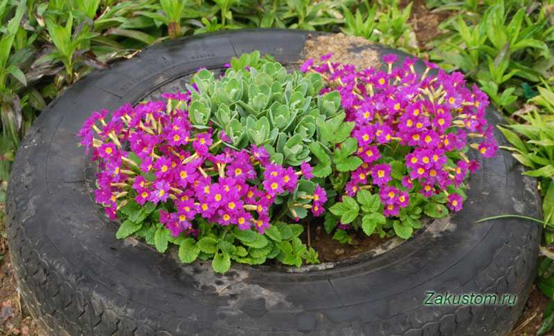 Примула - выращивание в саду
