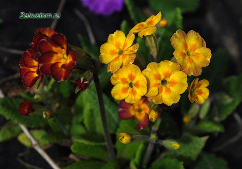 Примула - выращивание и уход