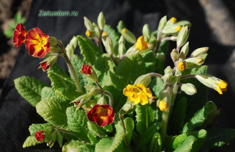Примула садовая - выращивание и уход