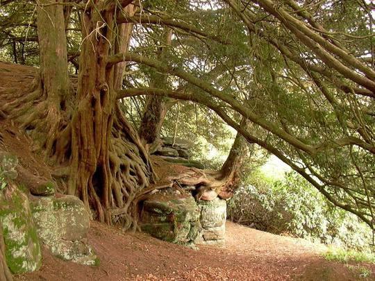 Магическое дерево тис