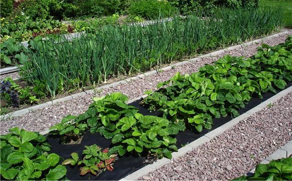 Гравийная дорожка отлично смотрится даже в огороде между грядками